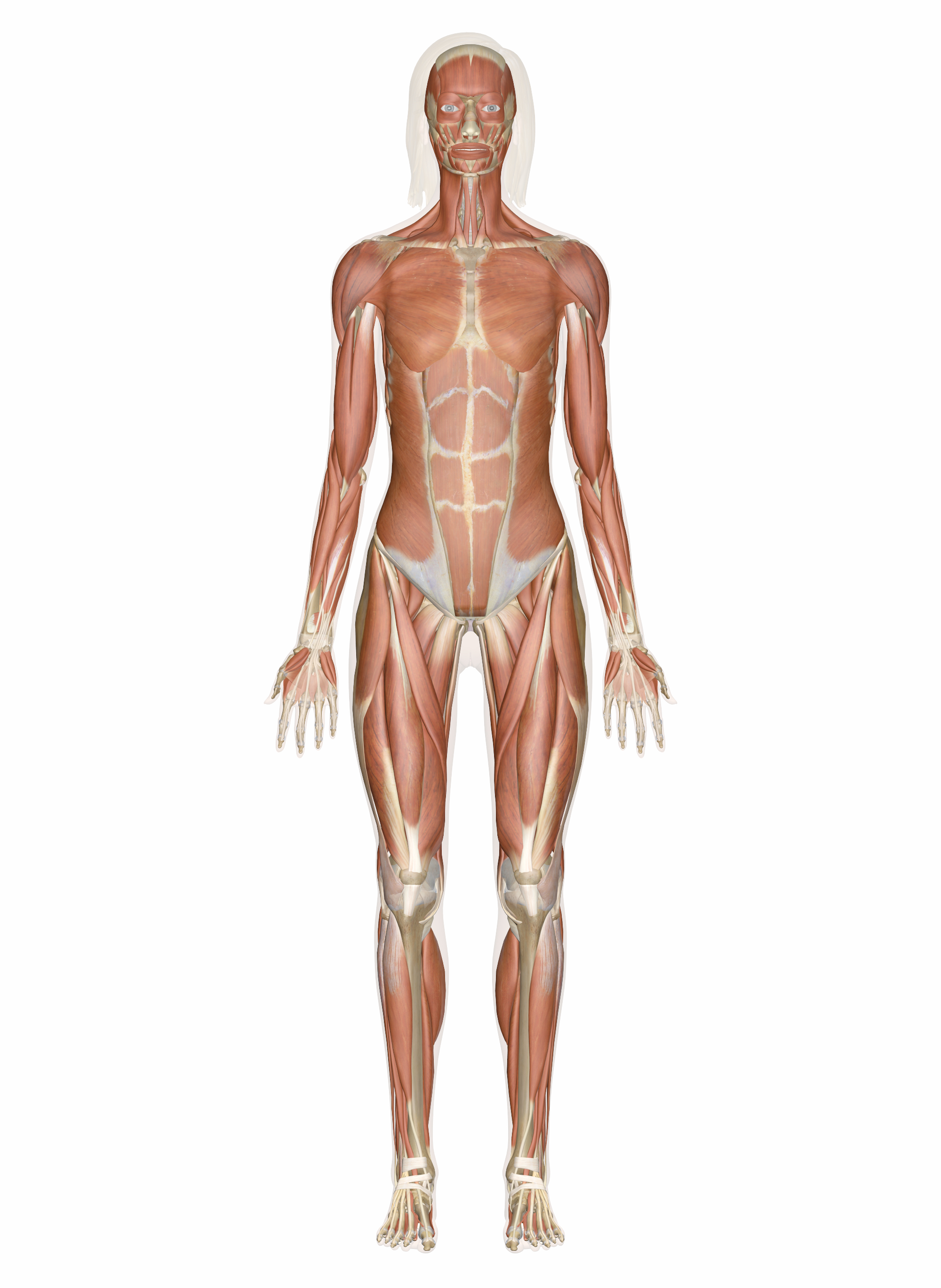 Human Muscle Diagram Muscular System Muscles Of The Human Body