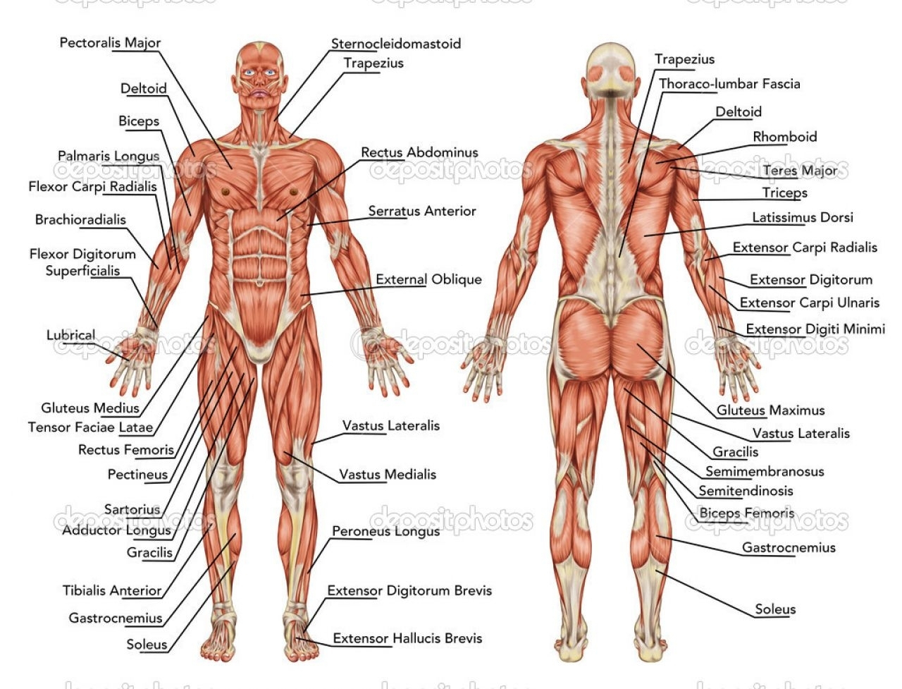 Human Muscle Diagram Muscular System Sketch At Paintingvalley Explore Collection Of