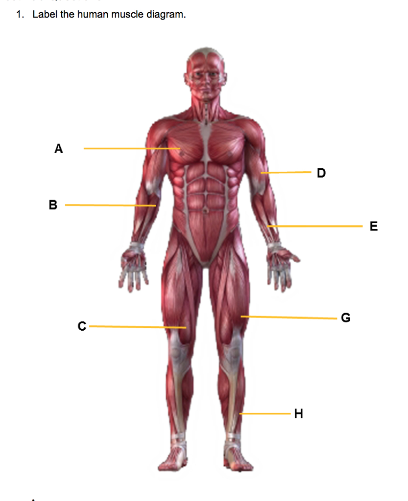 Human Muscle Diagram Solved 1 Label The Human Muscle Diagram Chegg