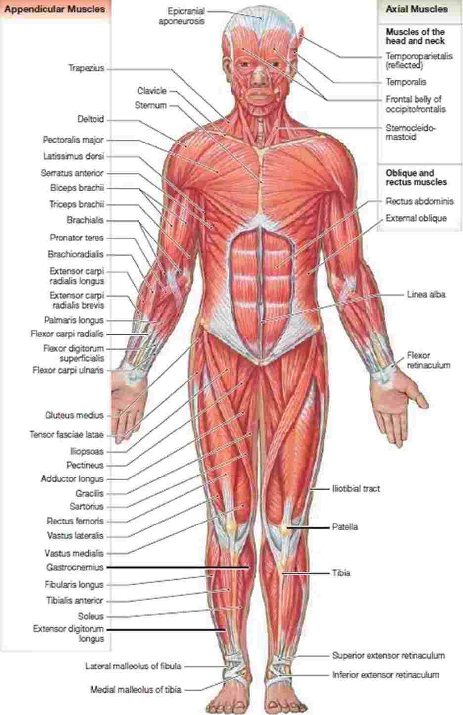 Human Muscle Diagram The Human Muscle Anatomy Diagram Of Anatomy