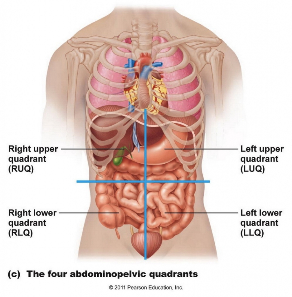 Internal Organs Diagram Anatomy Of The Internal Organs Of The Human Body