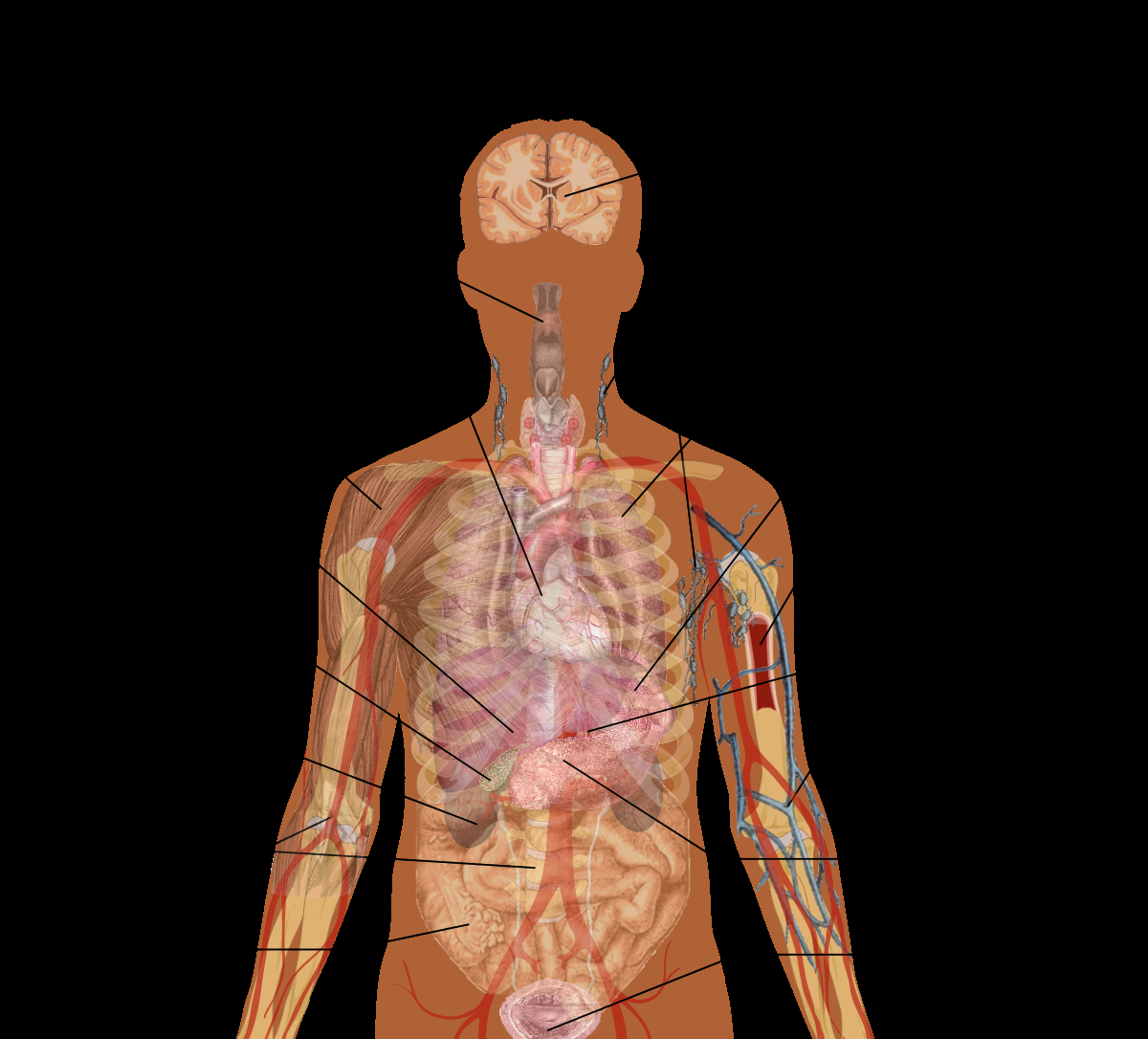 Internal Organs Diagram Diagram Body Organs Search Wiring Diagrams