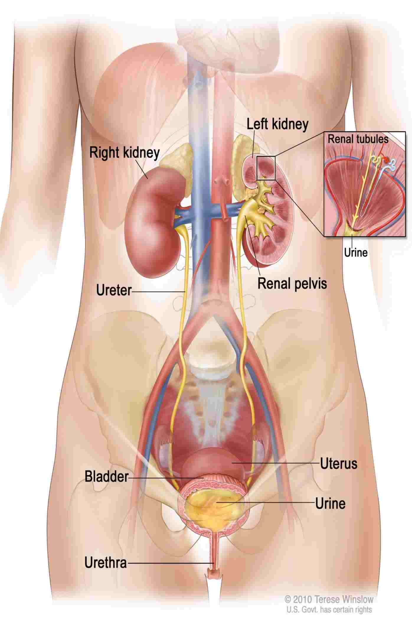 Internal Organs Diagram Female Organs Diagram Anatomy Anatomy Diagram Internal Organs