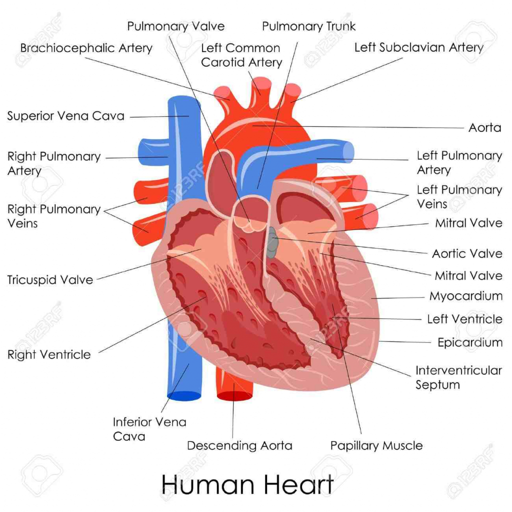Internal Organs Diagram Human Heart Diagram Labeled New Labeled Human Heart Human Internal