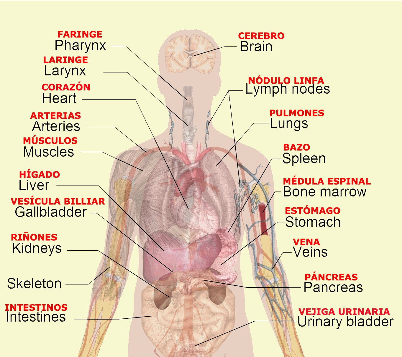 Internal Organs Diagram Internal Brain Diagram Best Of Liver Digestive System Fresh Body