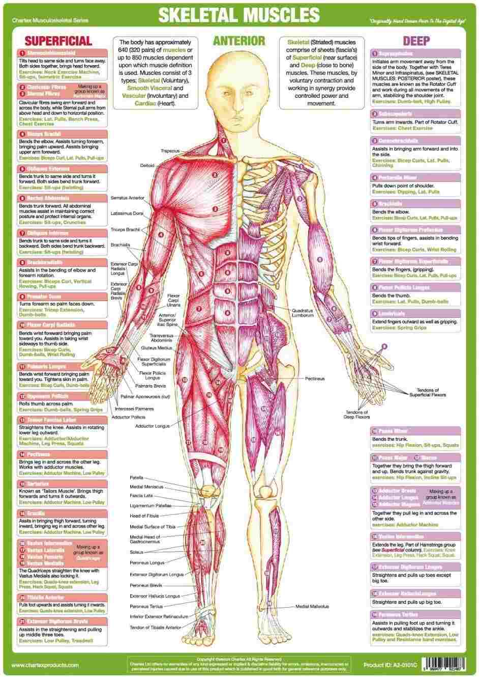 Internal Organs Diagram Womens Internal Organs Diagram Anatomy Body