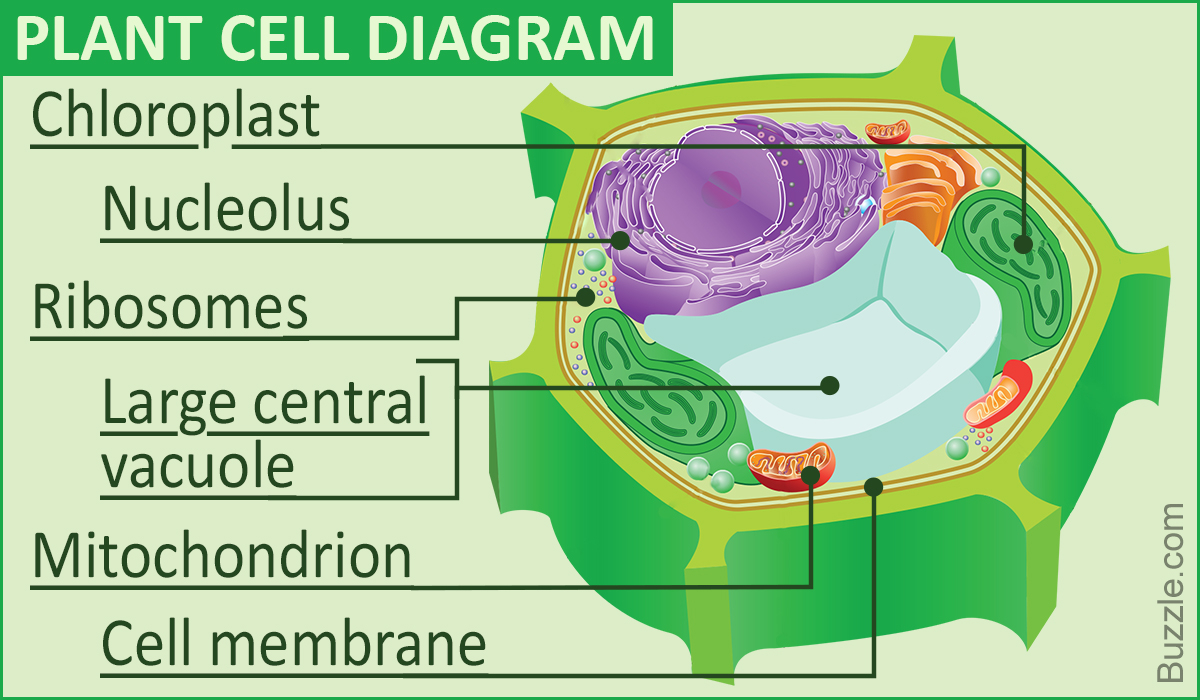 Plant And Animal Cell Diagram A Labeled Diagram Of The Plant Cell And Functions Of Its Organelles