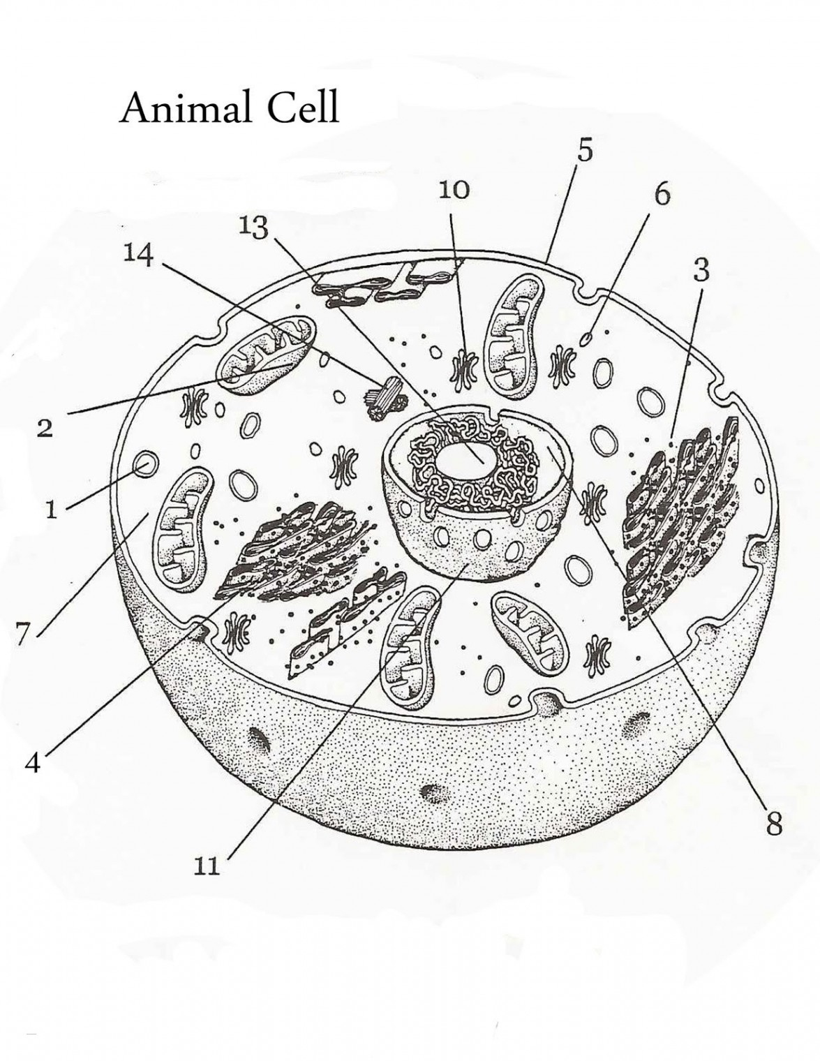 Plant And Animal Cell Diagram Diagram Of Heart Without Labels Fresh Animal Cell And Plant Cell