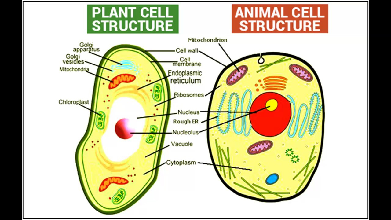 Plant And Animal Cell Diagram Difference Between Plant And Animal Cell In Hindiurdu