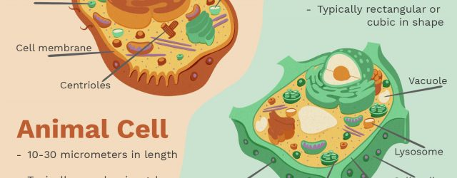 Plant And Animal Cell Diagram Differences Between Plant And Animal Cells