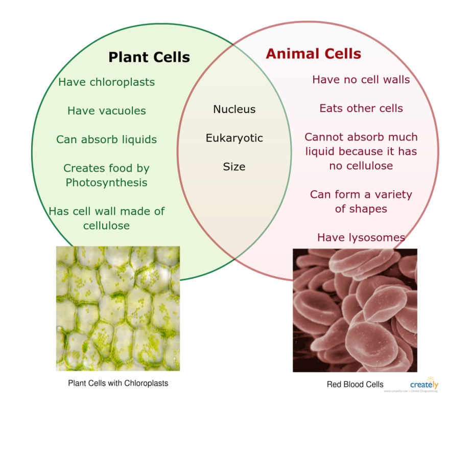 Plant And Animal Cell Diagram Image Result For Plant And Animal Cell Venn Diagram Venn Diagram