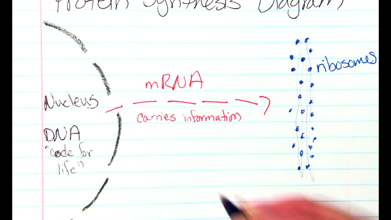 Protein Synthesis Diagram Protein Synthesis Diagram