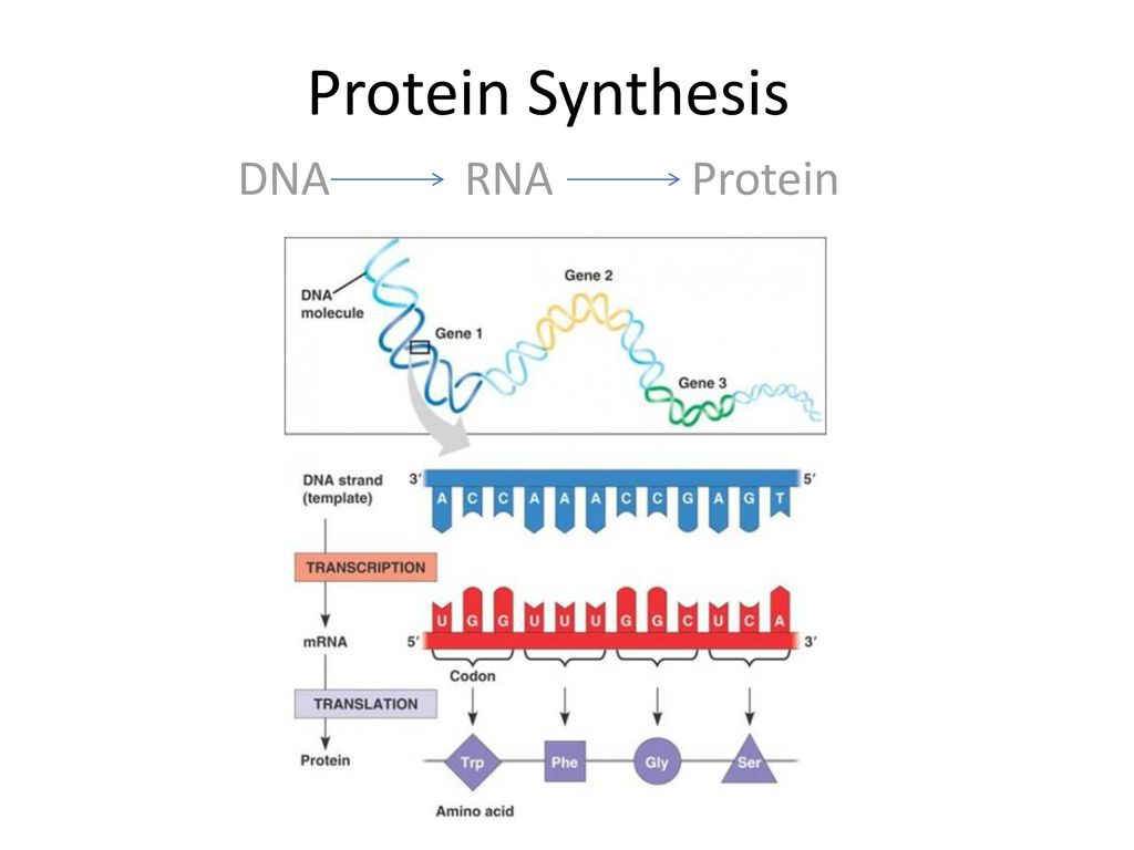 Protein Synthesis Diagram Protein Synthesis Dna Rna Protein Ppt Download