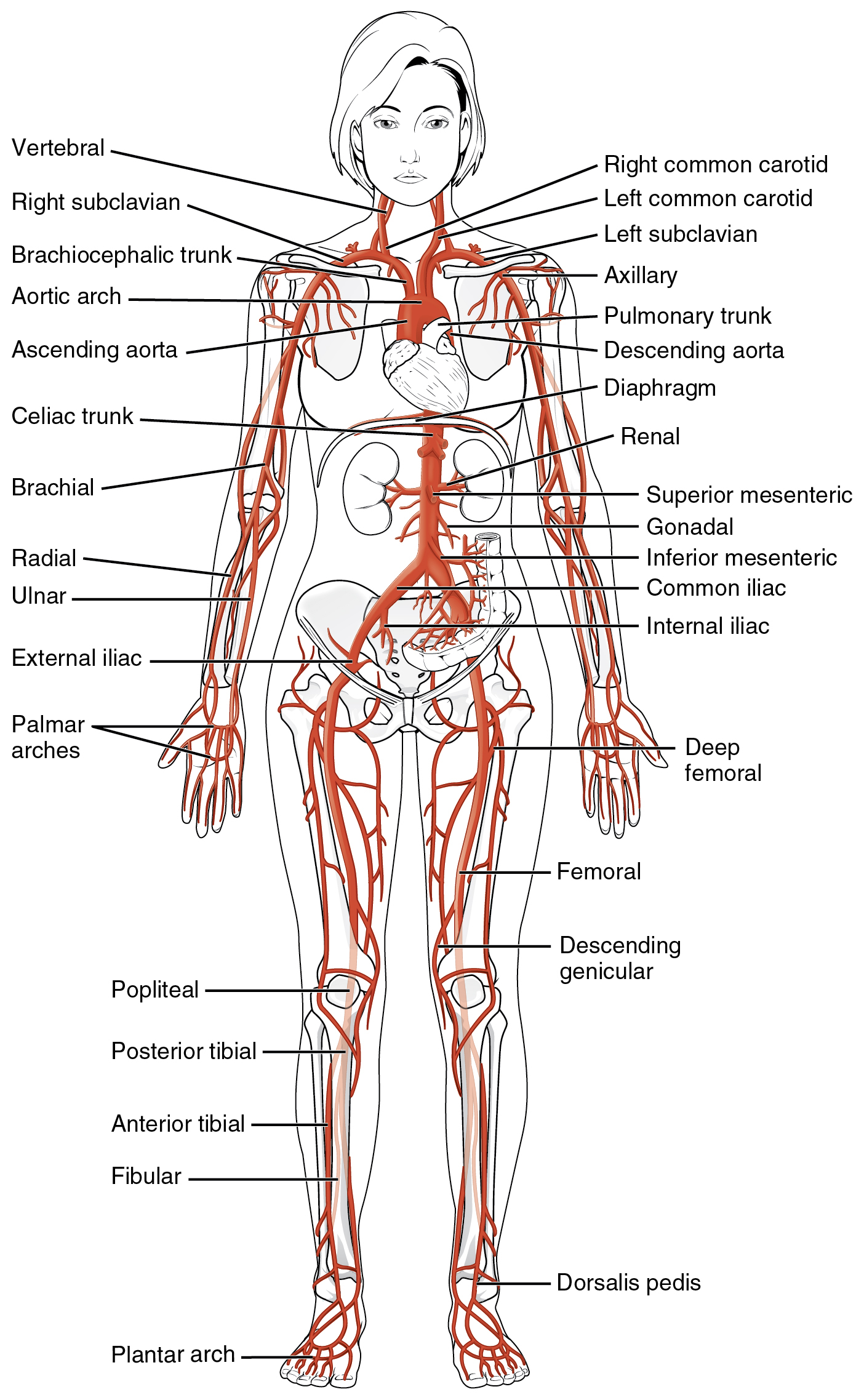 Veins And Arteries Diagram 205 Circulatory Pathways Anatomy And Physiology