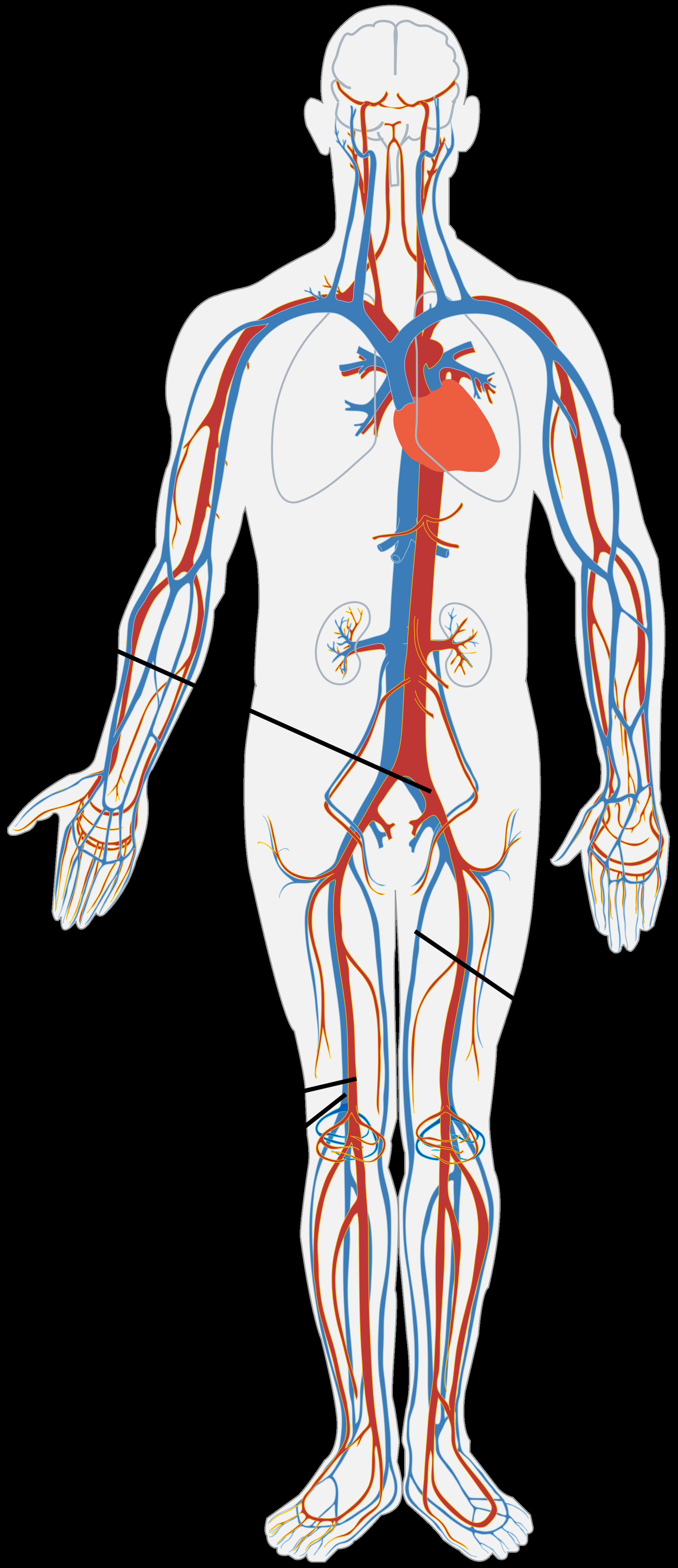 Veins And Arteries Diagram About Vascular Tissue Donating Veins And Arteries Aatb