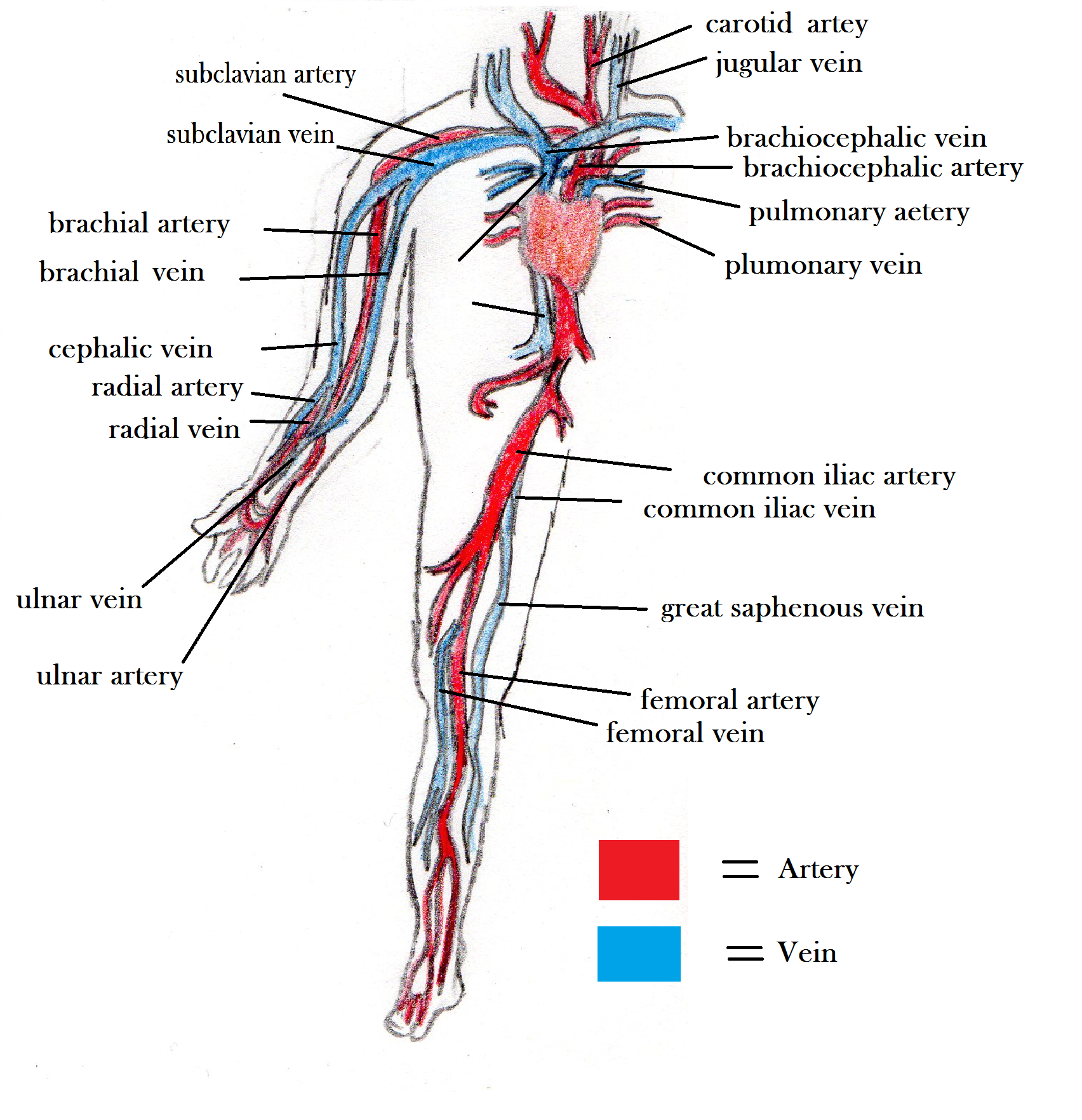 Veins And Arteries Diagram Arteries And Veins Blood Vessel Diagram The Circulatory System