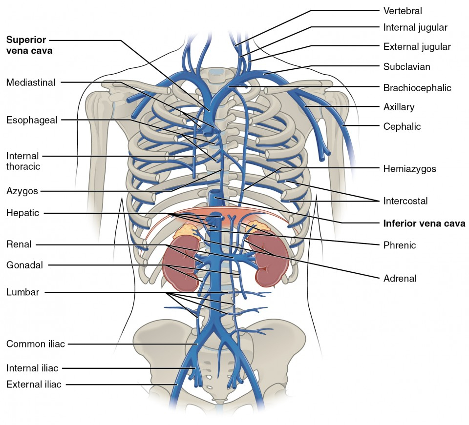 Veins And Arteries Diagram Circulatory Pathways Anatomy And Physiology Ii