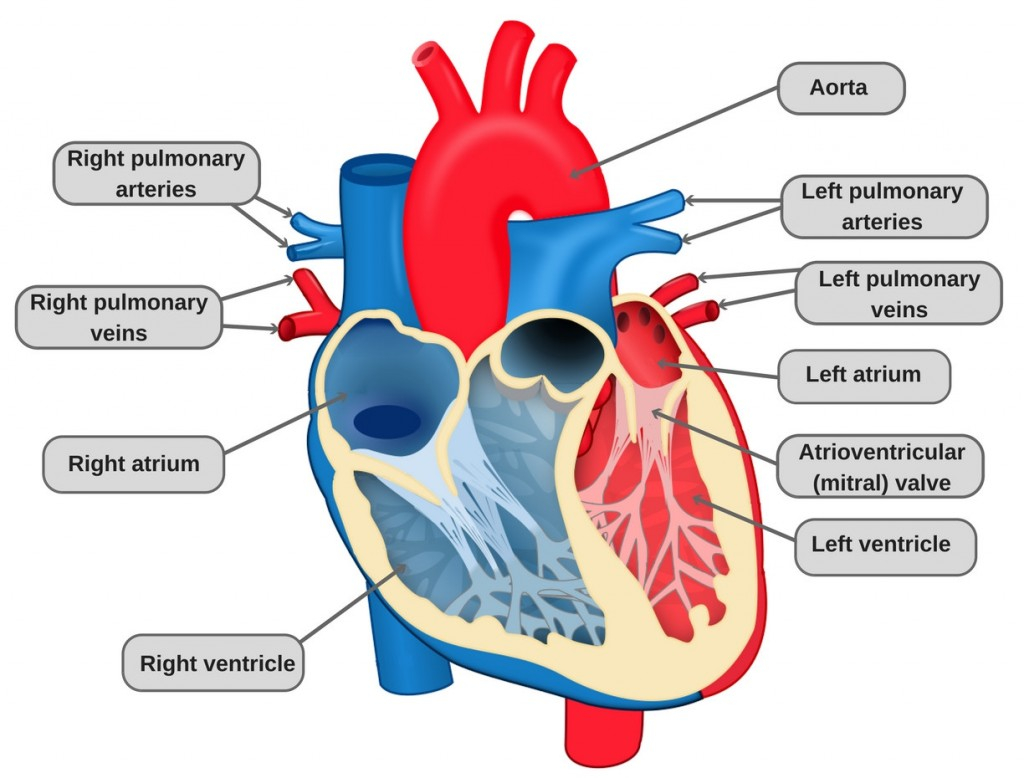 Veins And Arteries Diagram Circulatory System Definition Diagram And Functioning