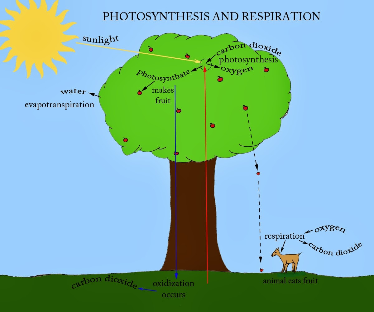 Venn Diagram Of Photosynthesis And Cellular Respiration 5th Grade Science Sge