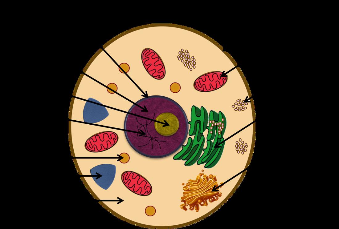 Animal Cell Diagram Cells Mr Scotts 6th Grade Class