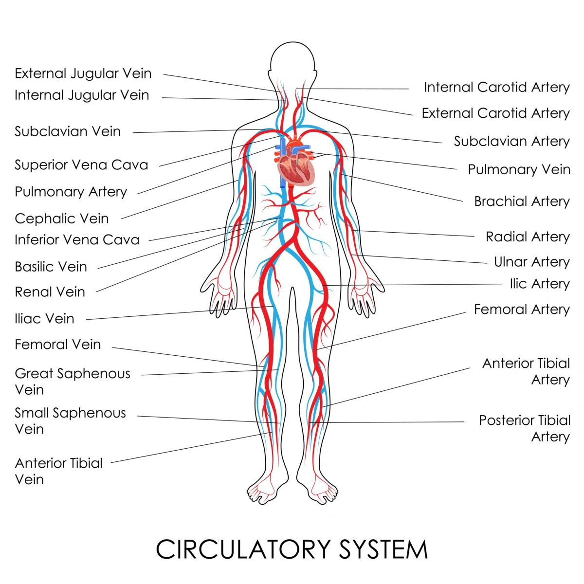 Arteries And Veins Diagram Angiogram Singapore Vascular Imaging Blood Vessels Analysis
