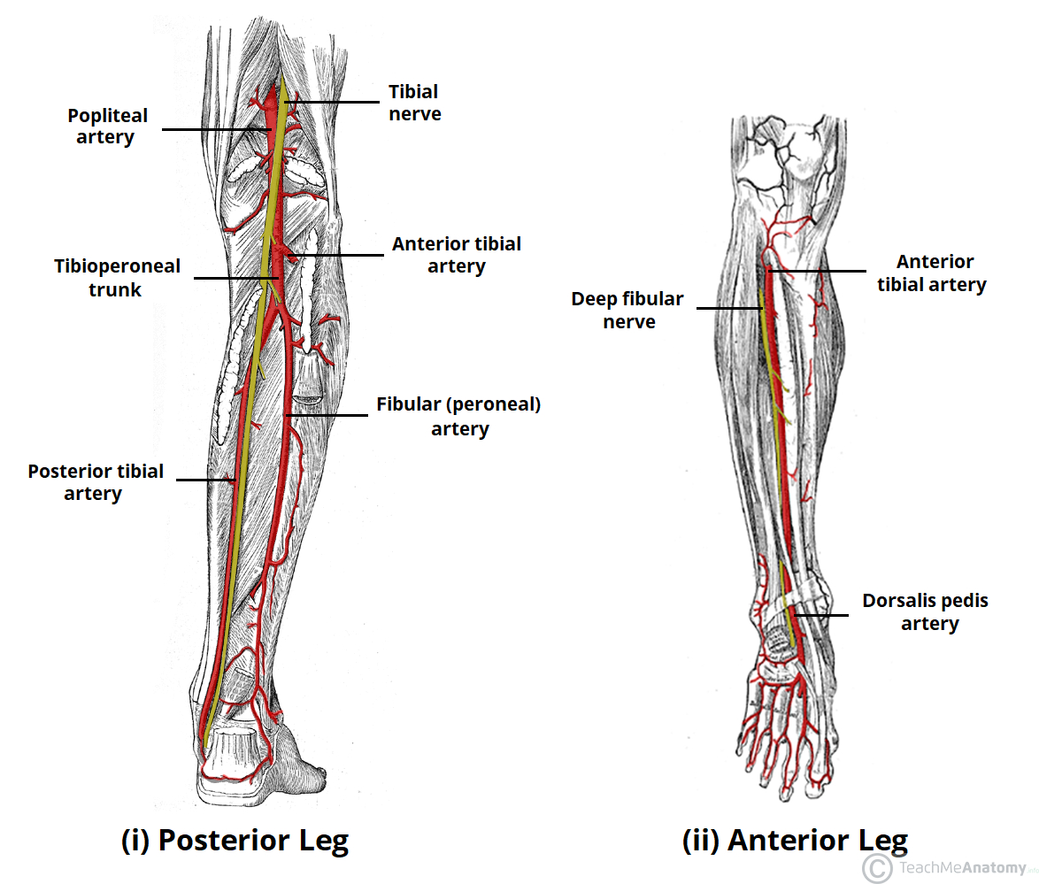 Arteries And Veins Diagram Arteries Of The Lower Limb Thigh Leg Foot Teachmeanatomy
