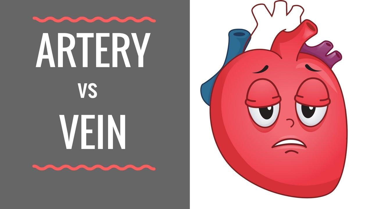 Arteries And Veins Diagram Arteries Vs Veins Circulatory System