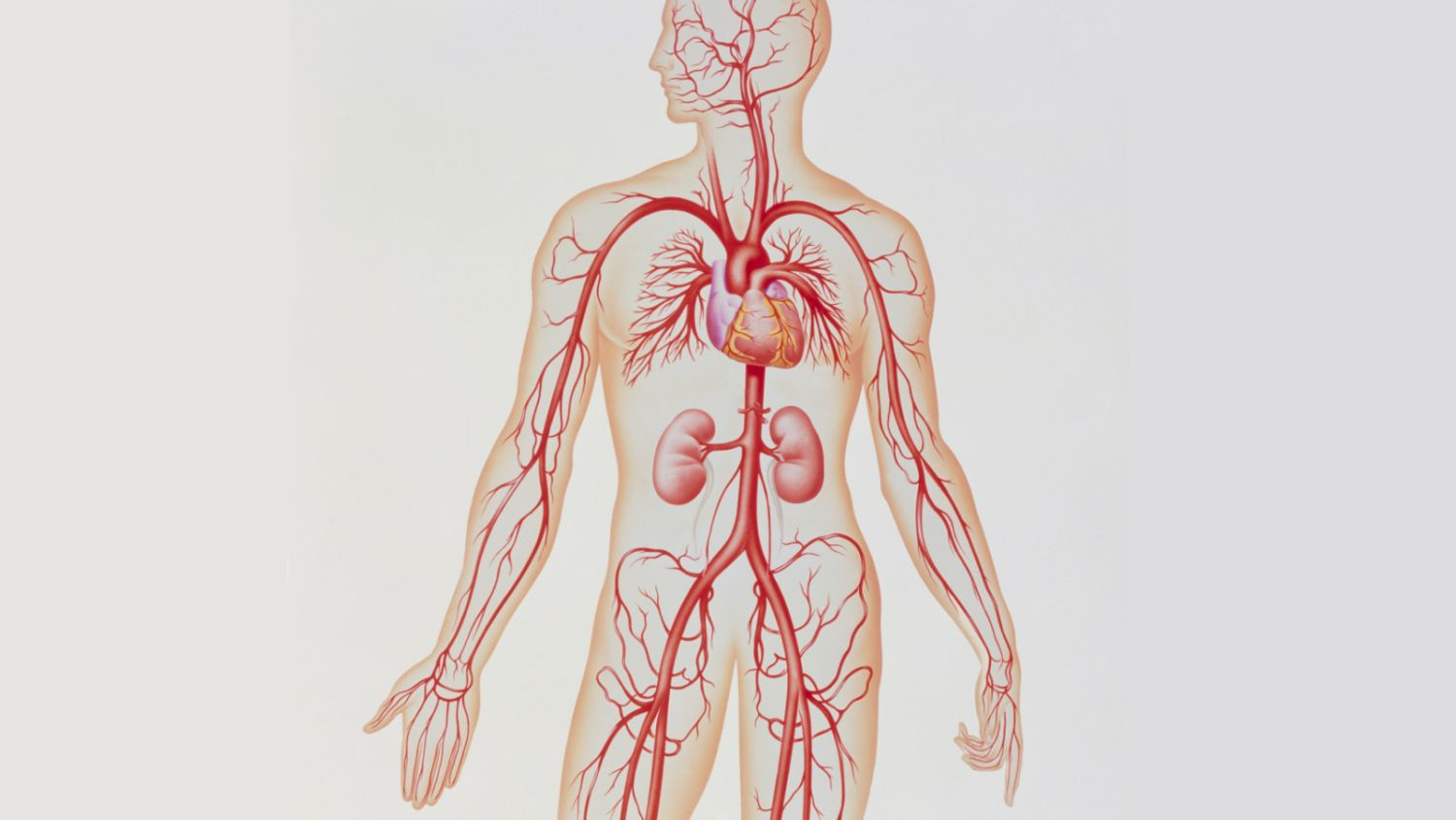 Arteries And Veins Diagram Artery Structure Function And Disease
