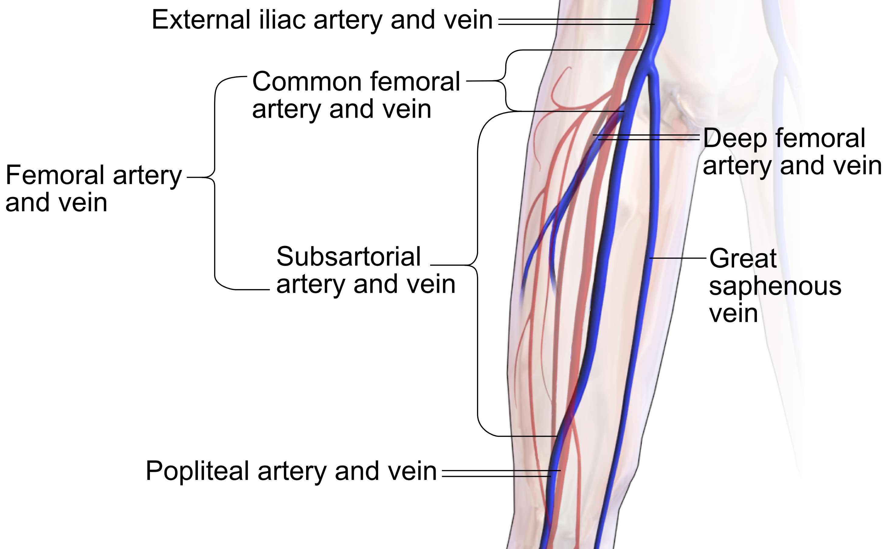 Arteries And Veins Diagram Filecommon Femoral And Subsartorial Artery And Vein Wikimedia