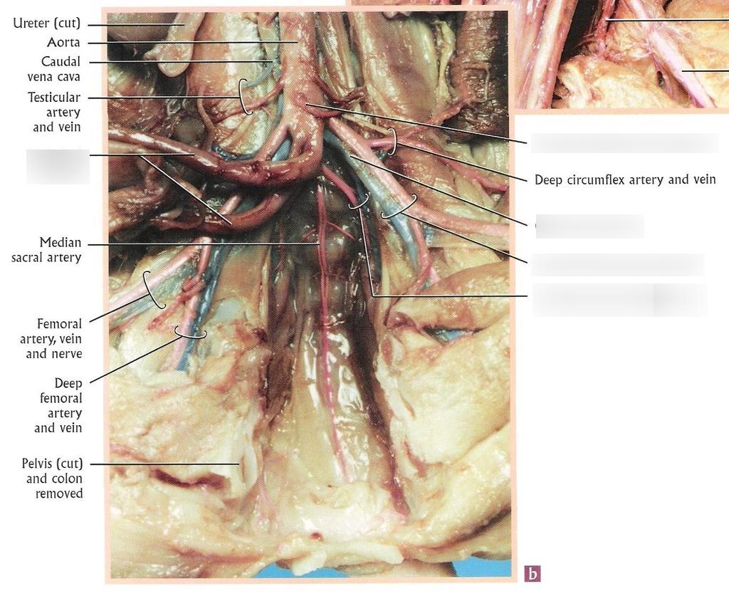 Arteries And Veins Diagram Lab 4 Fetal Pig Arteries And Veins Diagram Quizlet