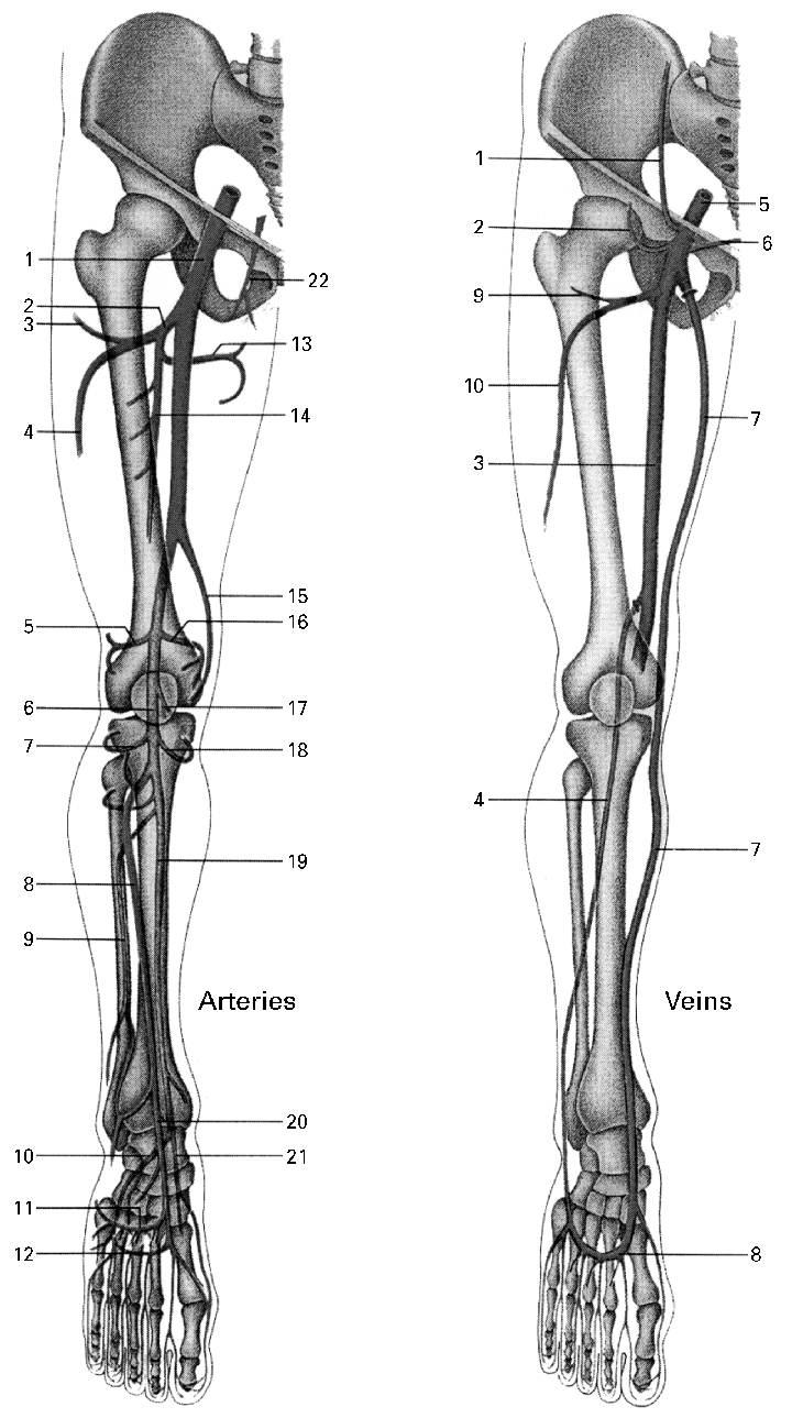 Arteries And Veins Diagram Main Arteries And Veins Of The Lower Extremities Arteries 1