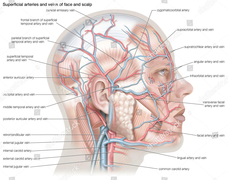 Arteries And Veins Diagram Superficial Arteries Veins Face Scalp Editorial Stock Photo Stock