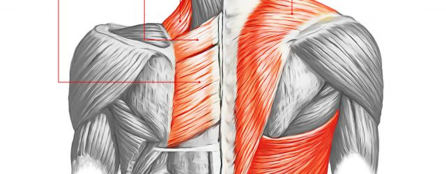 Back Muscle Diagram Back Muscles 28 Major Muscles Of The Back Earths Lab