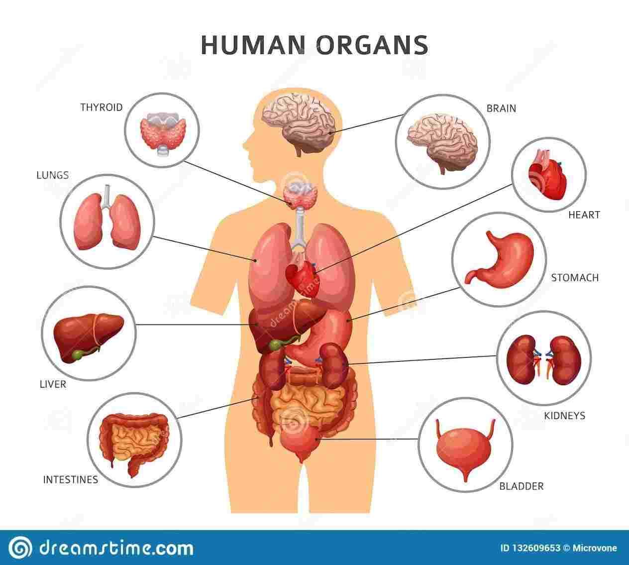 Body Organs Diagram Anatomy Internal Organs Diagram Diagram Anatomy Body