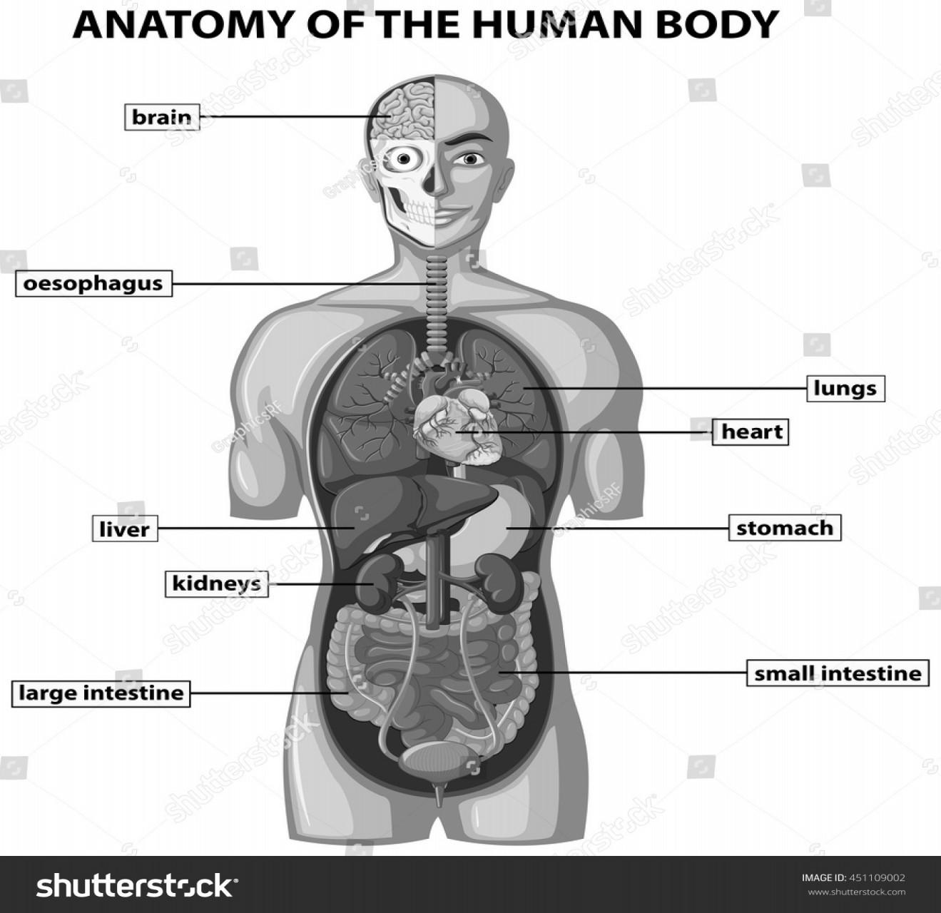 Body Organs Diagram Anatomy Of Body Showing Organs Steven Hill