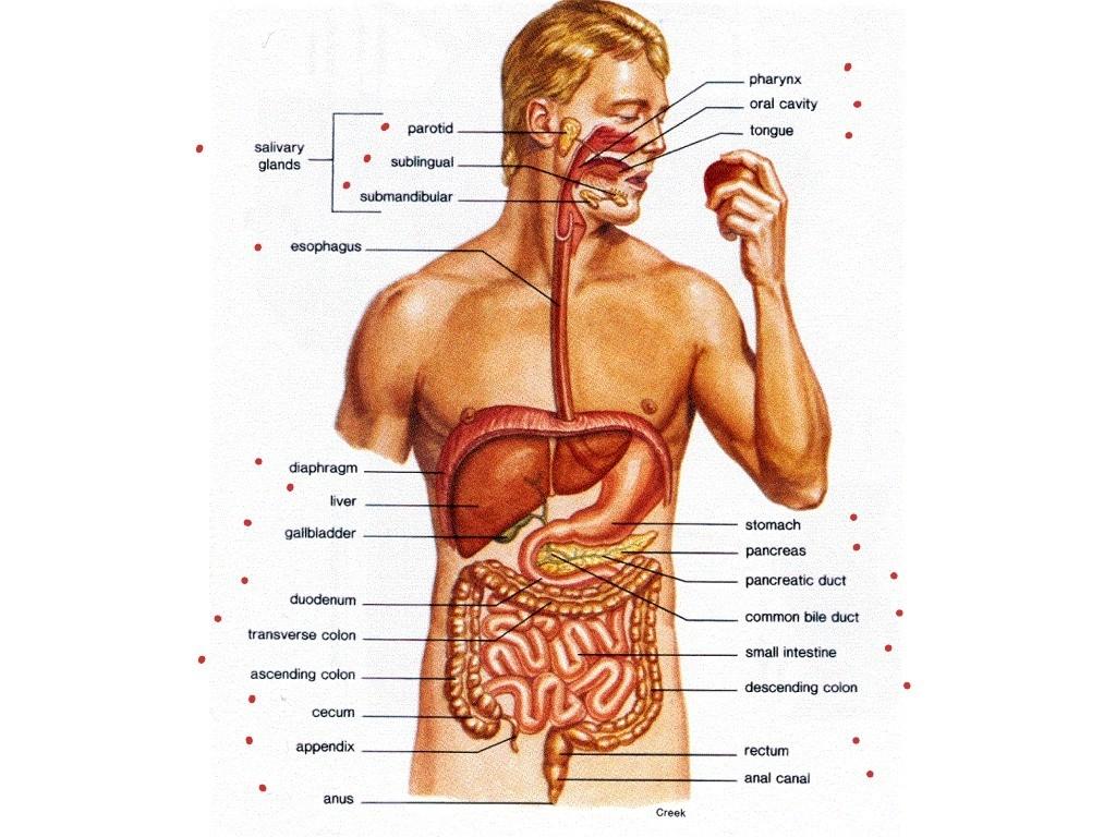 Body Organs Diagram Full Body Diagram Of Organs Wiring Diagram Library