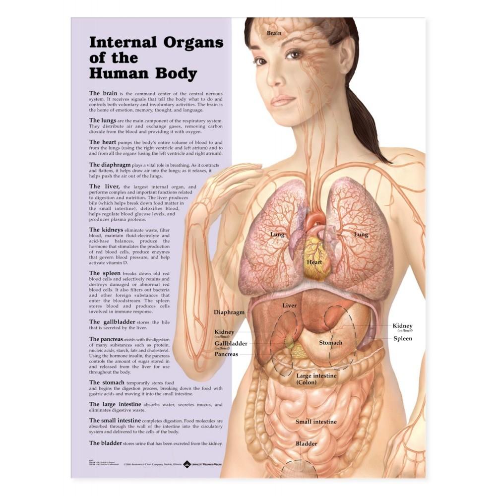 Body Organs Diagram Internal Organs Of The Human Body Chart Poster Laminated