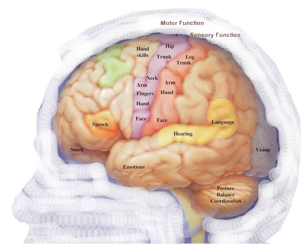 Brain Diagram Labeled Anatomy Human Human Brain Diagram Labeled