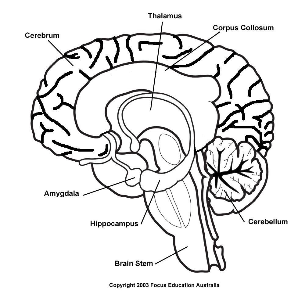 Brain Diagram Labeled Blank Brain Diagram Wiring Diagram
