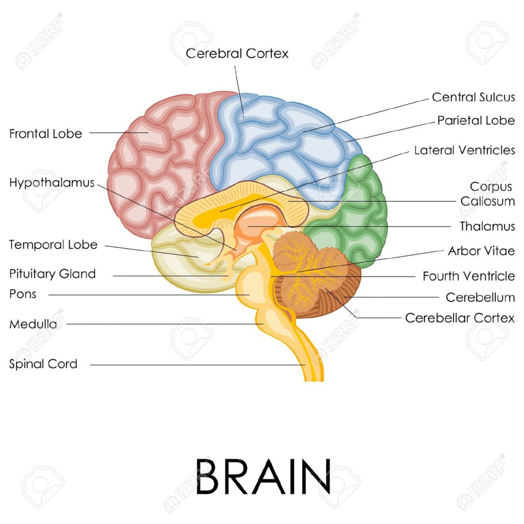 Brain Diagram Labeled Brain Clipart Labeled