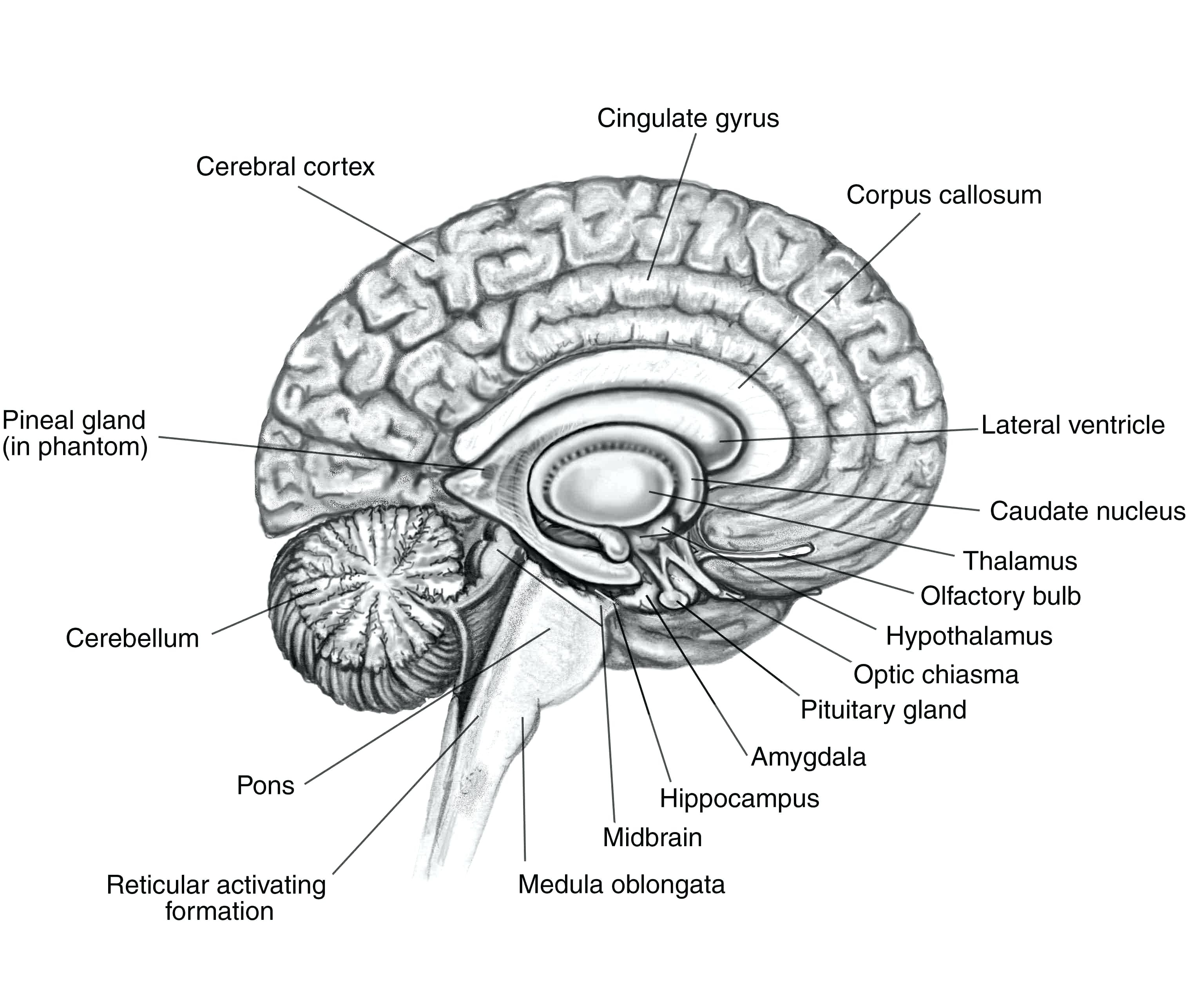 Brain Diagram Labeled Brain Coloring And Labeling Oneupcolorco