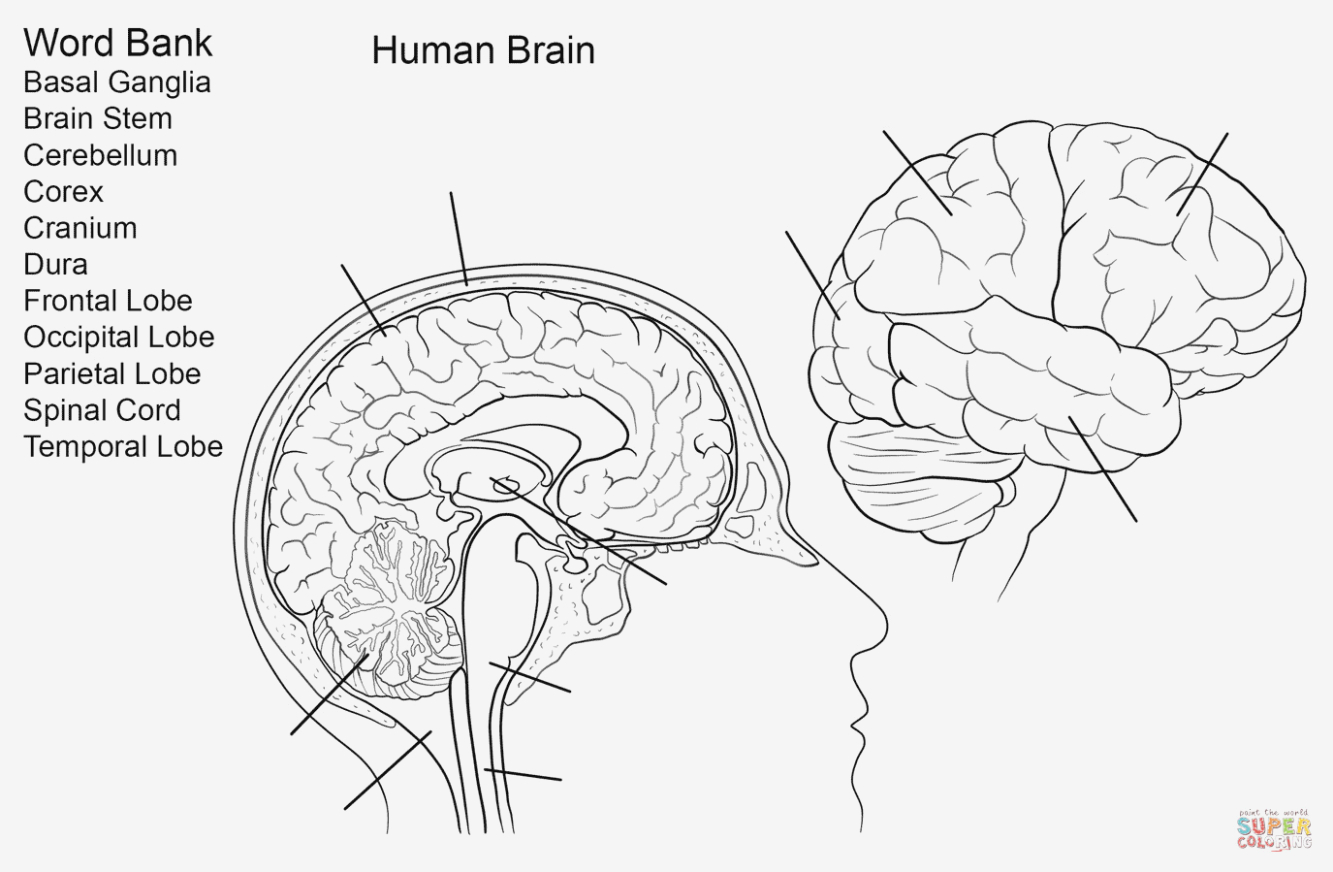Brain Diagram Labeled Brain Diagram To Label Anatomicaly Magnificent Labeling Quiz