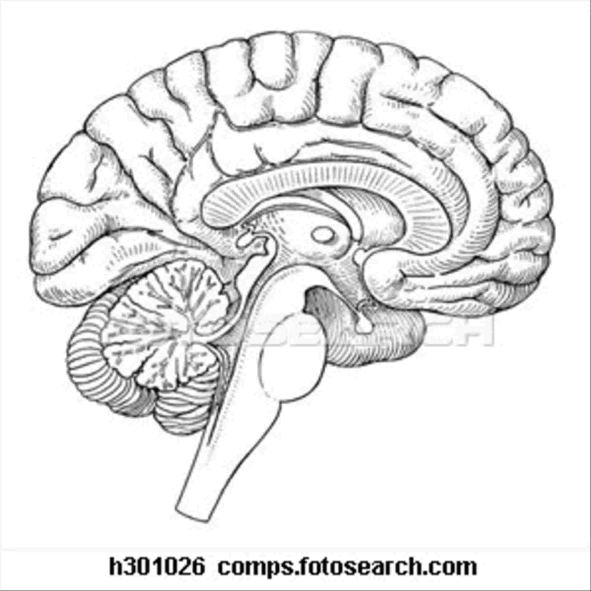 Brain Diagram Labeled Brain Diagram Without Labels Diagram Of Anatomy