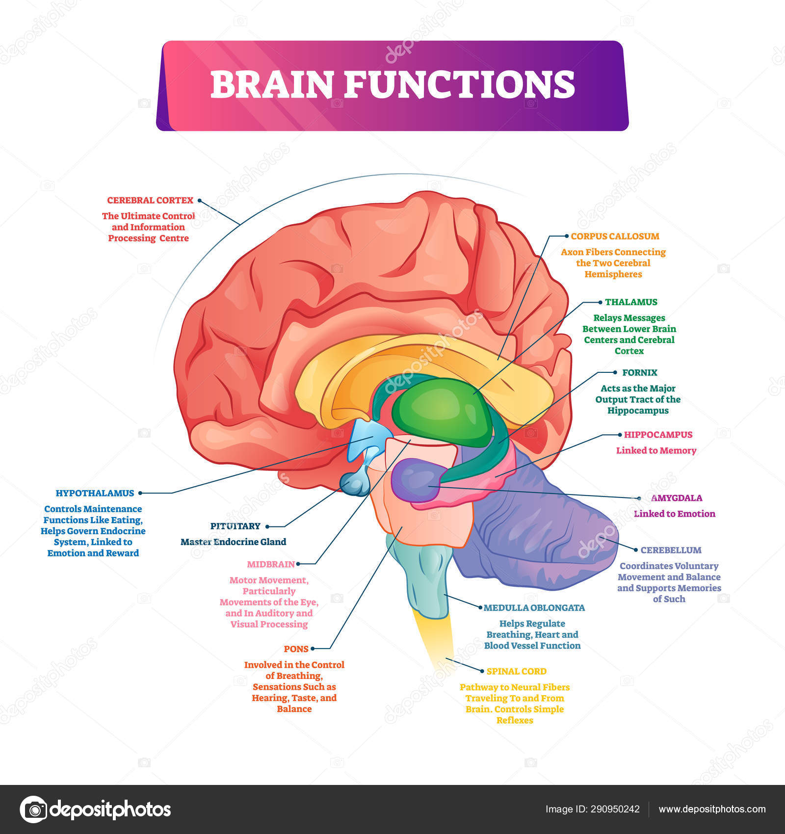 Brain Diagram Labeled Brain Functions Vector Illustration Labeled Explanation Organ Parts