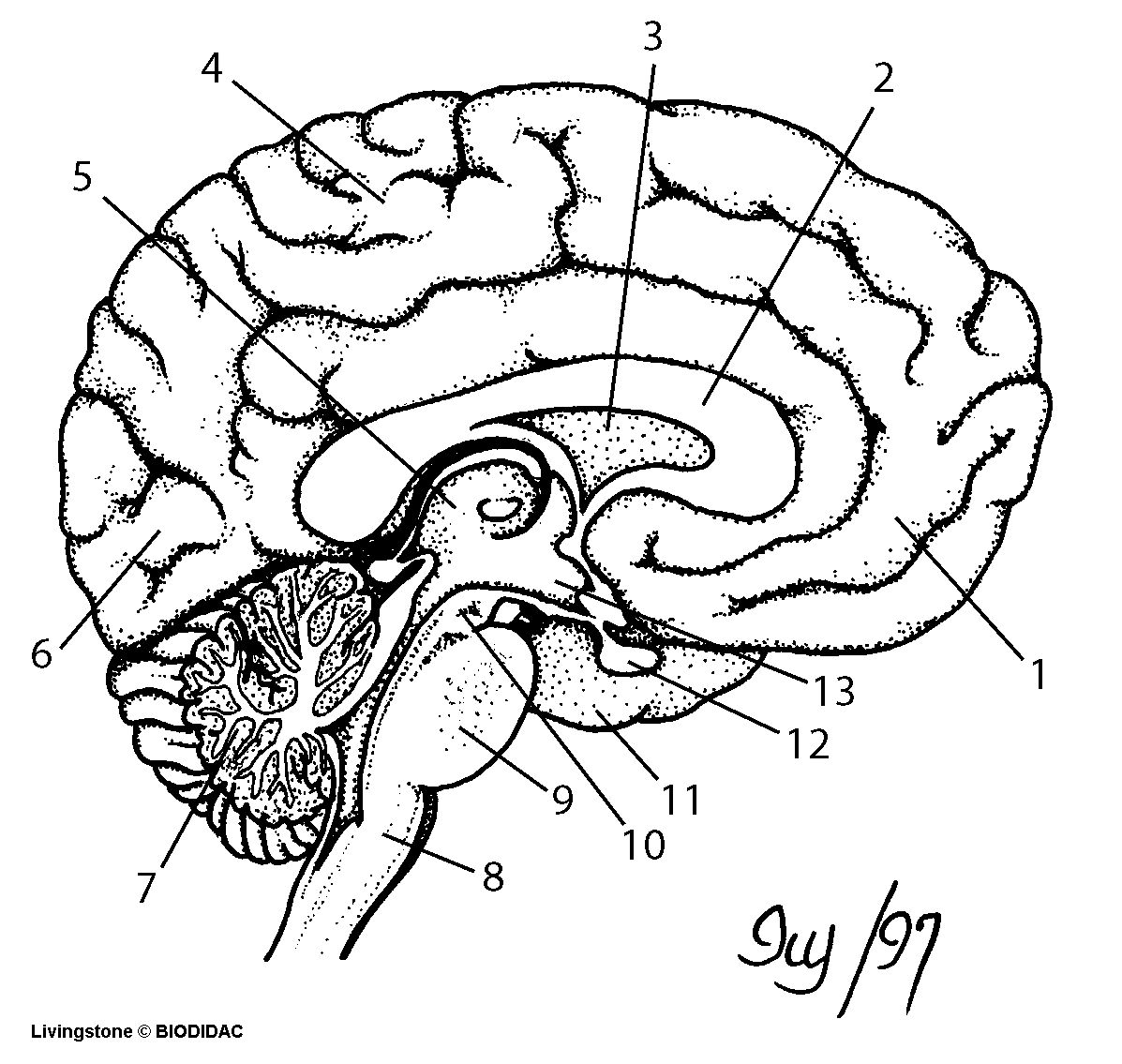 Brain Diagram Labeled Drawing Of The Brain With Labels Free Download Best Drawing Of The