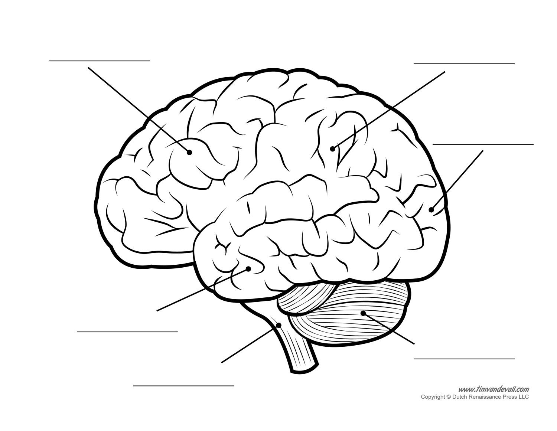 Brain Diagram Labeled Free Brain Diagram Download Free Clip Art Free Clip Art On Clipart