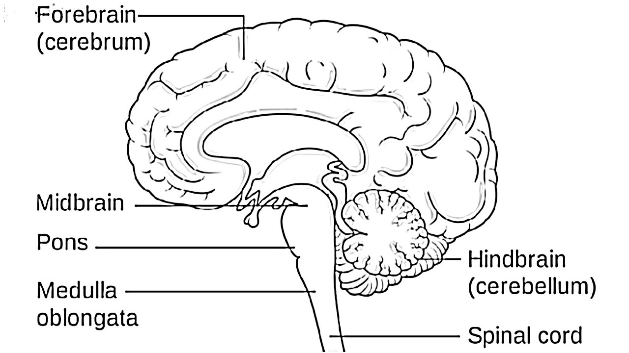 Brain Diagram Labeled How To Draw Human Braindraw Labelled Diagram Of Brainbrain Diagramdraw And Label Brain Diagram