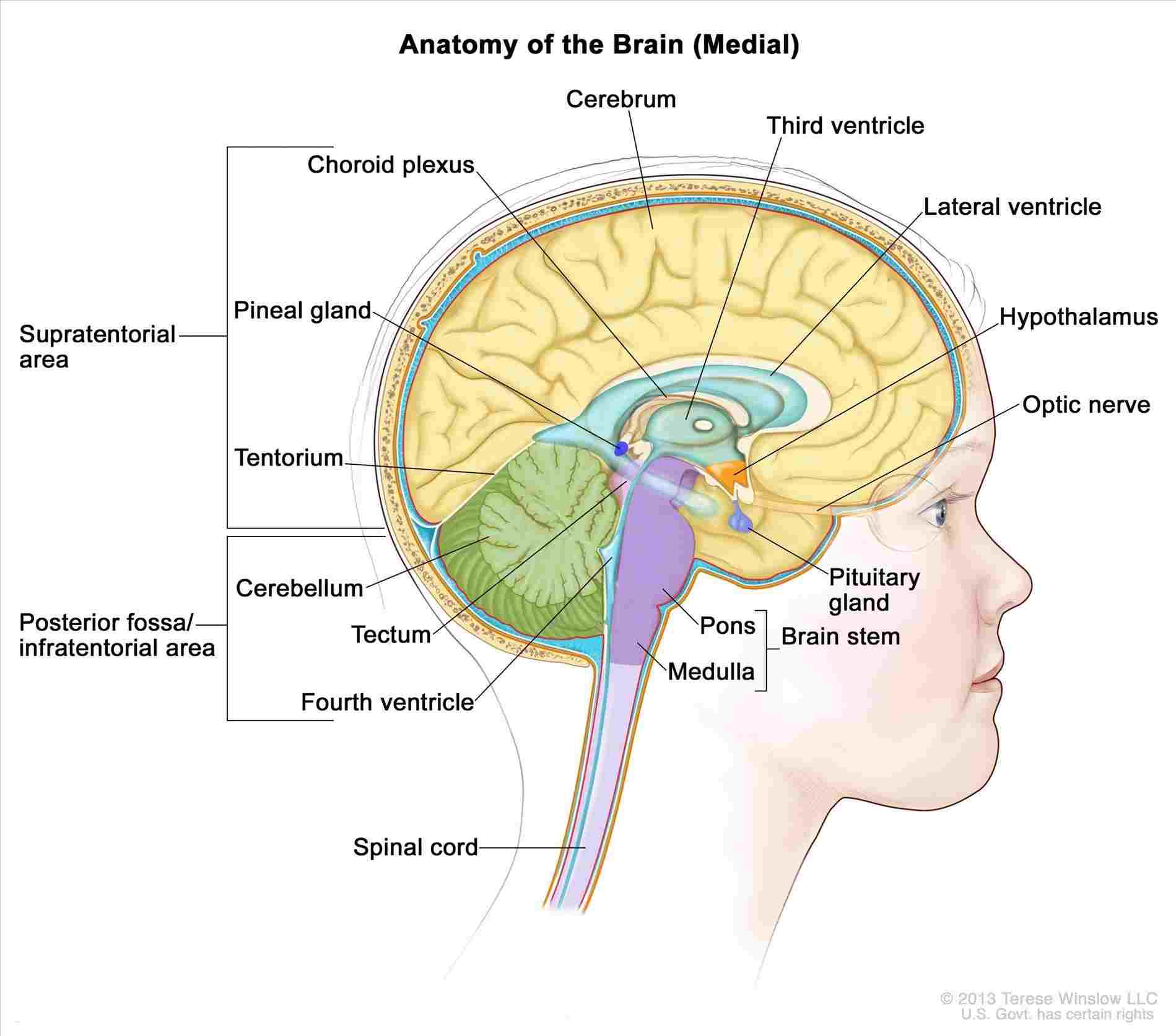 Brain Diagram Labeled Human Brain Anatomy Diagram Labeled Diagram Of Anatomy