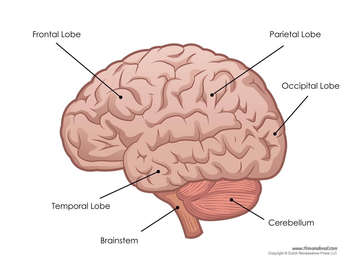 Brain Diagram Labeled Human Brain Diagram Labeled Unlabled And Blank