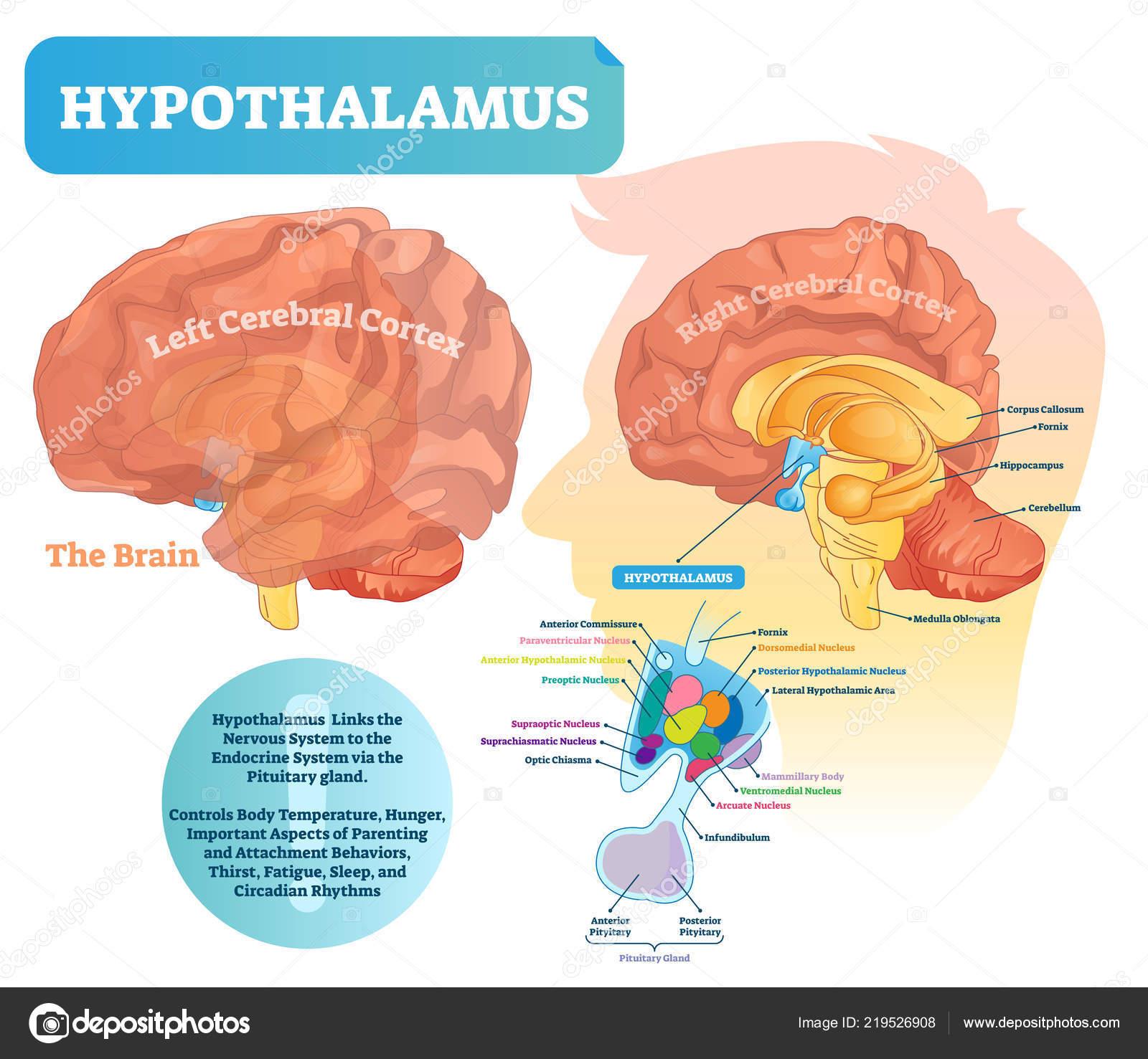 Brain Diagram Labeled Hypothalamus Vector Illustration Labeled Diagram With Brain Part